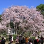 六義園のライトアップで桜が綺麗な時間帯と混雑状況について